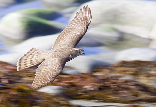 store rovfugler i norge